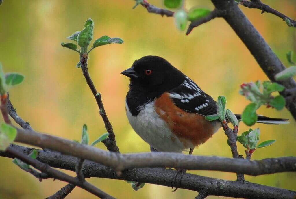 Sp[otted Towhee