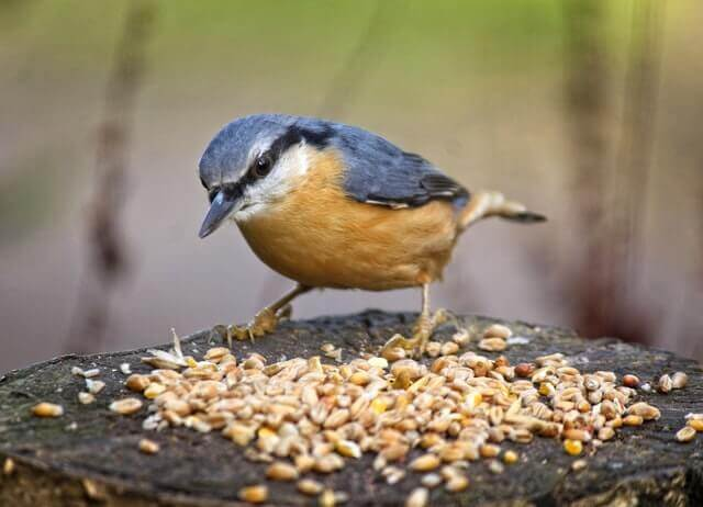 Red-breasted Nuthatch