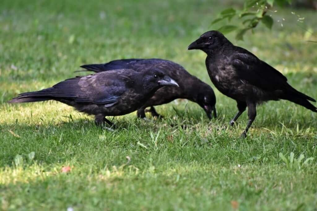 Crows in yard