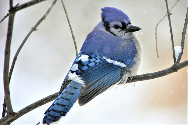 Blue Jay fluffing feathers