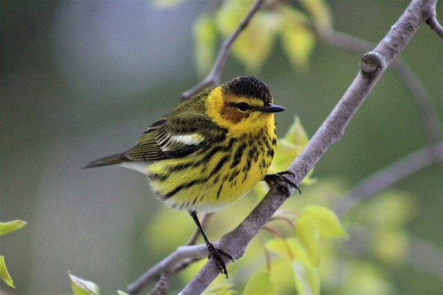 Cape-may warbler
