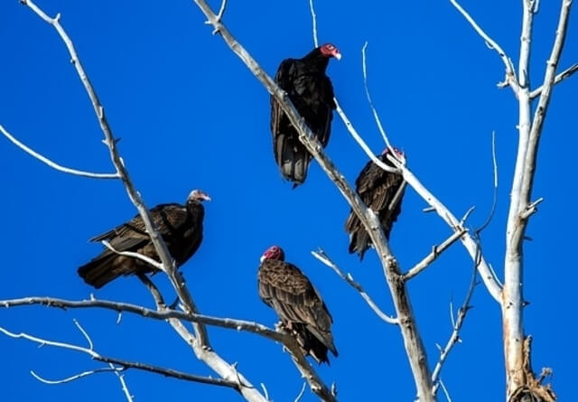 Group of Turkey Vultures