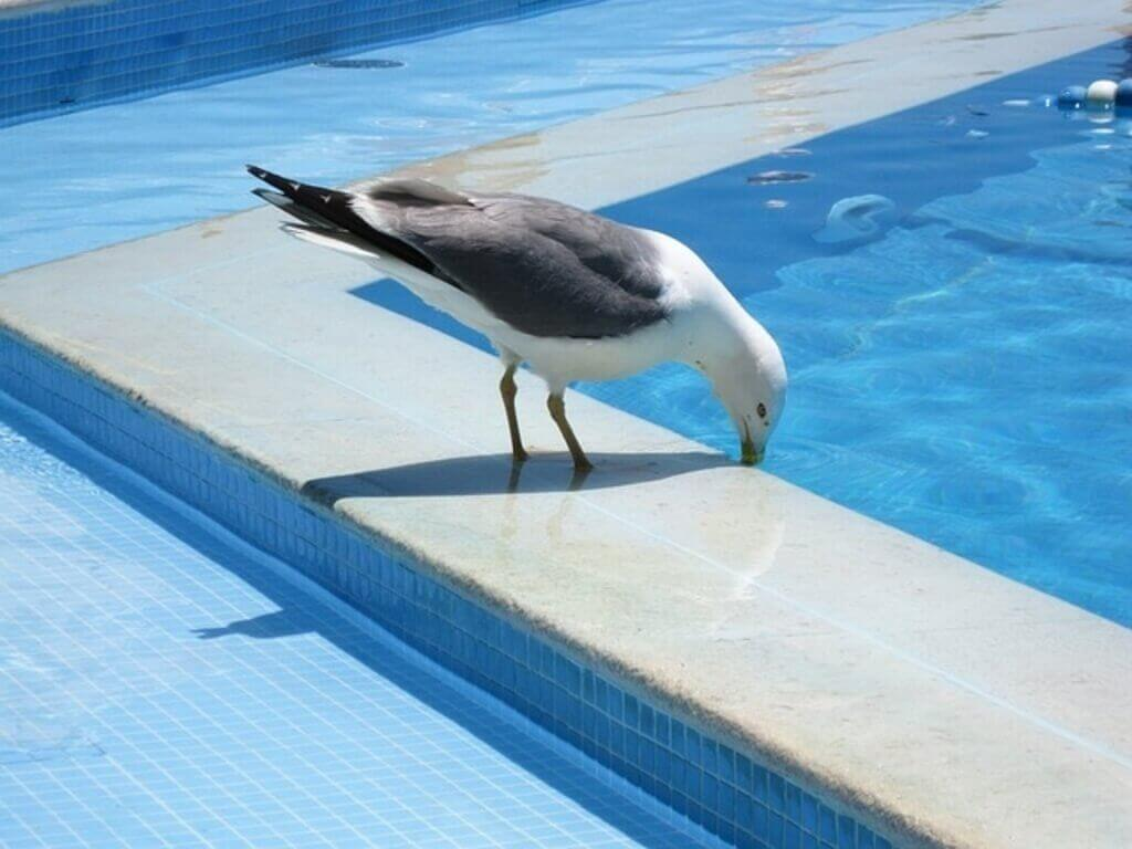 seagull-drinking-water
