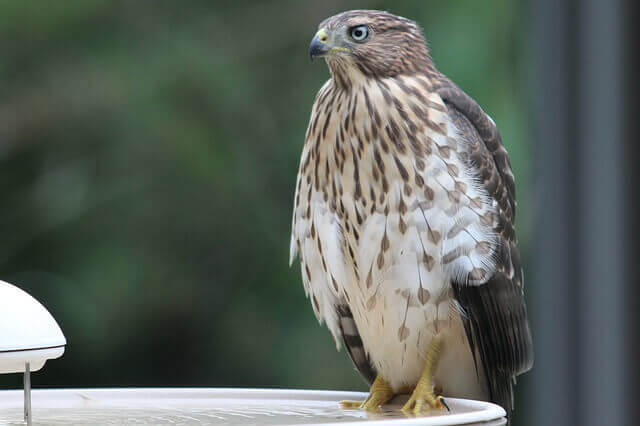 Cooper's hawk in birdbath