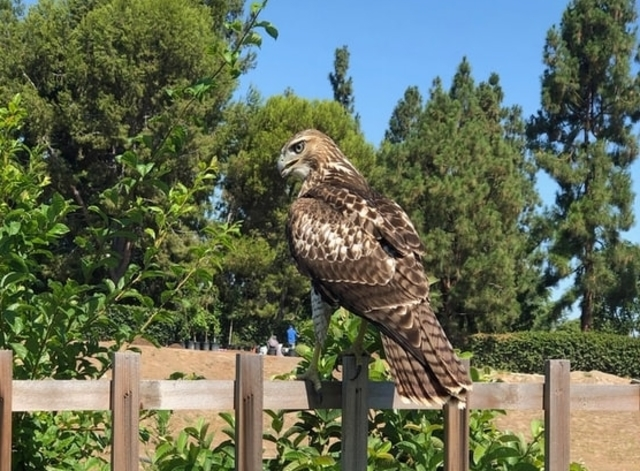Cooper's Hawk perched on fence post