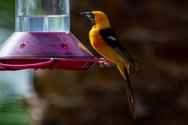 Yellow-hooded Oriole