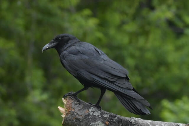American Crow perched on log