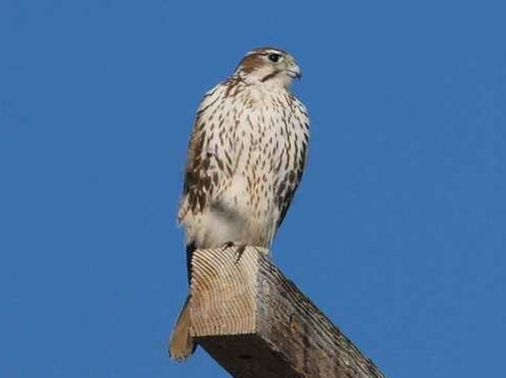 Prairie-Falcon perched on post