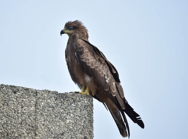 Indian-spotted Eagle