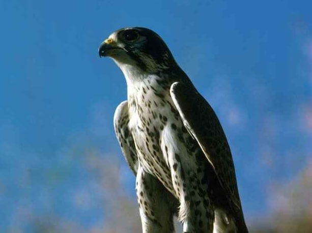 Peregrine Falcon roosting