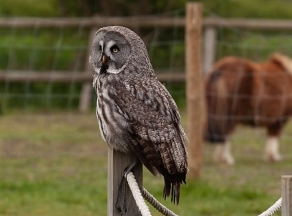 Great Gray Owl perched on post