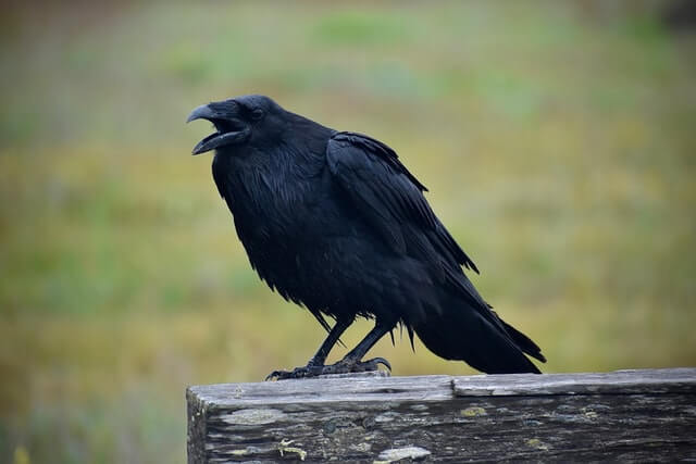 common raven on fence post