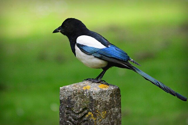 magpie perched on post