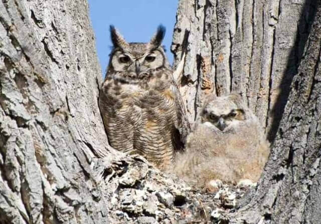 Great horned Owls on tree