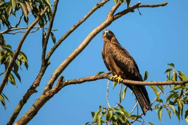 black kite perched on a tree
